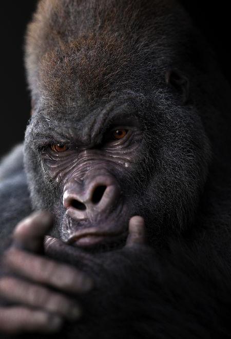 Massimorighi gorilla a0e67938 2d1c