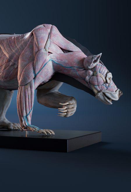Nicolasmorel grizzly anatomy atla ed5d3a85 mqiu