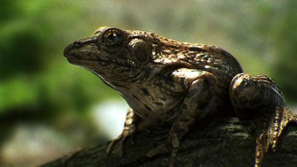 Caiofantini frog 1 ea1d7689 zehv