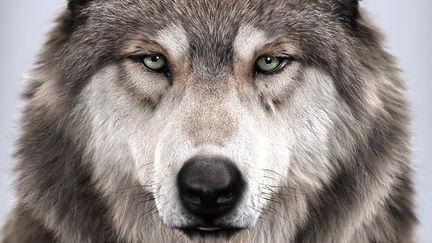 Wolf's portrait