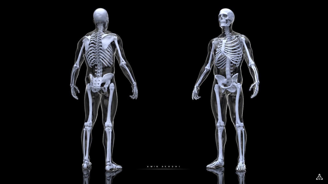 Anatomy study-Human Skeleton