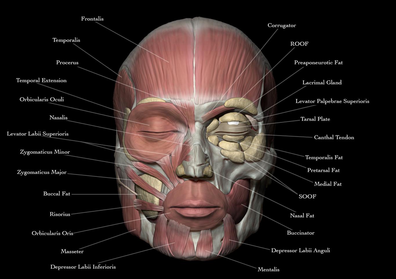 Face Anatomy By Josuevilela Medical Visualization Sculpture