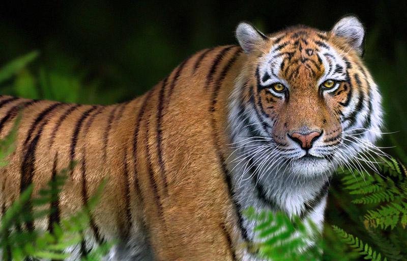 Xjgd4321 tiger 1 b38c75f6 35xt